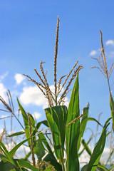 comme les blés