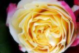 rose macro 2 poster