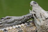 crocodile 7 poster