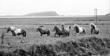 icelandic horses poster