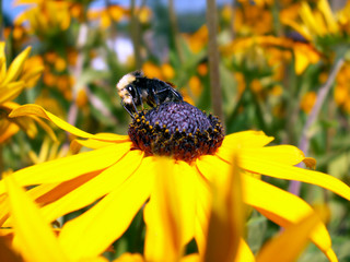 bumblebee gathering nectar from a yellow daisy.