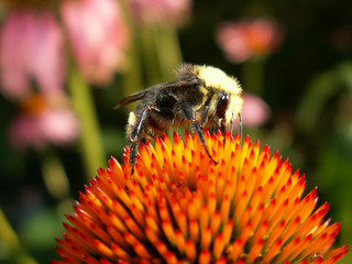 bumblebee on the cone of an echinacea flower.