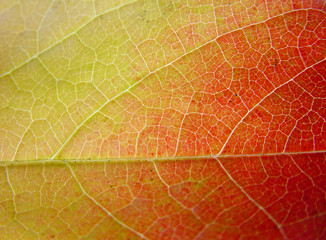 background leaf in green, yellow and red