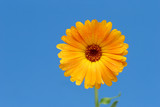 yellow gerber flower against blue poster