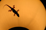 gecko on lamp poster