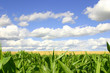 a cornfield, wheatfield, and blue skies