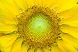 close up sun flower poster