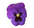 design elements: blue pansy