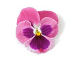 design element: pink pansy