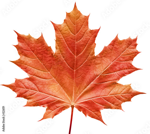reddish maple leaf - 32619