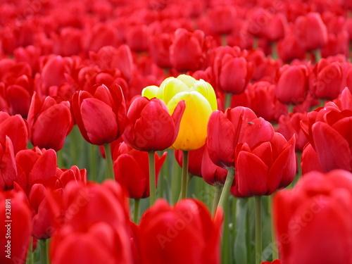 Leinwandbild Motiv yellow tulip