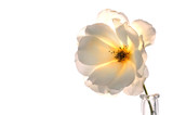 white on white rose poster