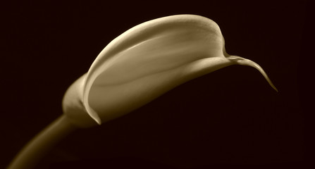 sepia lilly