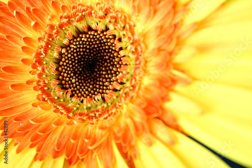 eye of the gerbera