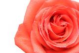rose dew macro poster