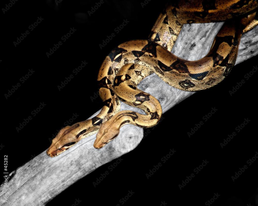 gad wąż wąż - powiększenie