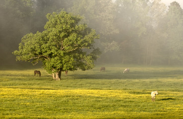 horses and tree at cades cove
