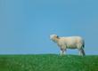 calling lamb