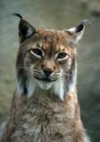 portrait lynx poster