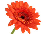 deep orange gerber daisy focus in center poster