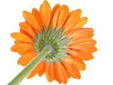 underside of orange gerber daisy focus on sepal poster