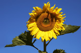 nice sunflower poster