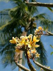 fleur des caraïbes