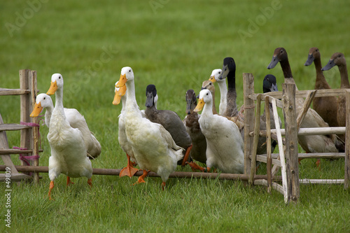 group of ducks jumping a fence