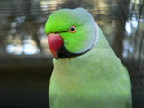 green ringneck parrot poster