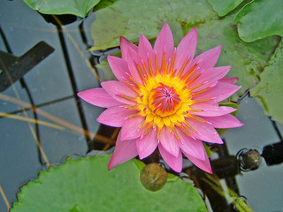 pink lotus pond flower