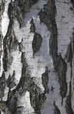 birch cork poster