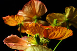 iceland poppies poster