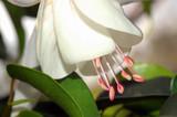 white fushia poster