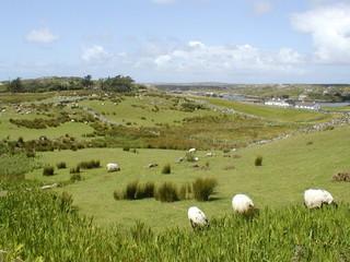plaine et moutons en irlande