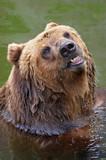 brown bear taking a bath poster