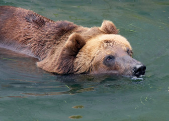 swiming brown bear
