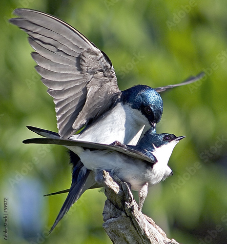 tree swallows mating