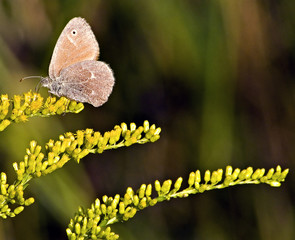 brown butterfly and goldenrod