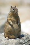 pregnant ground beach squirrel poster