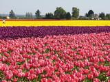 flower tulip poster