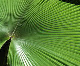 big palm leaf poster
