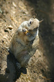 ground beach squirrel poster