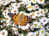 butterfly in daisywheel poster