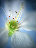 flower of a cherry poster