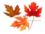 three maple leaves on white poster