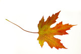 orange maple leaf on white poster