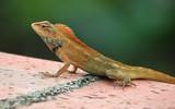 common tree lizard poster