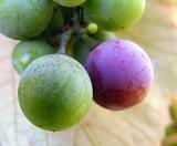 grapes ripen 1 poster