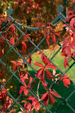 ivy decorated fence poster