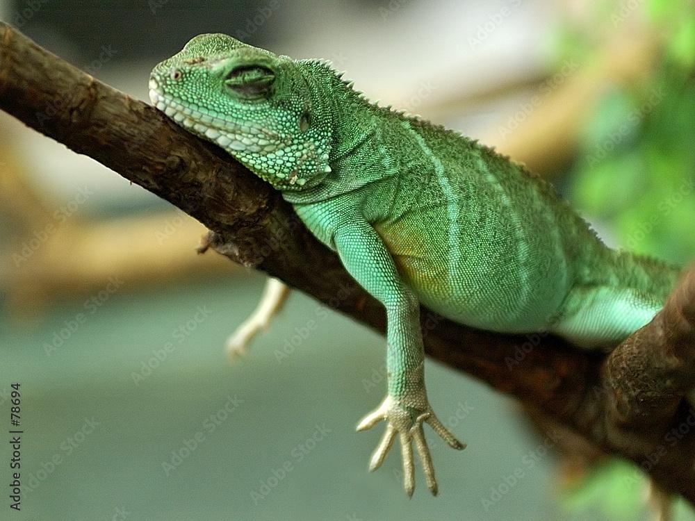 smok gekko woda - powiększenie